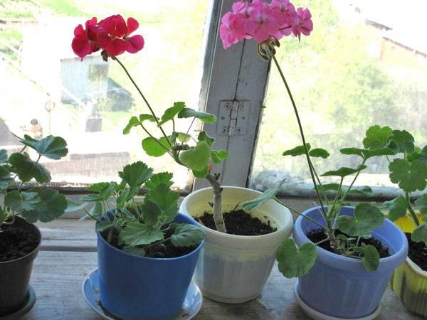Как приготовить и использовать подкормку из йода для буйного цветения герани?