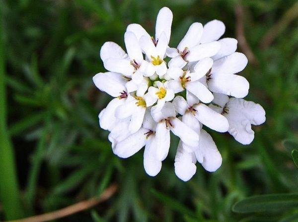 Приглашаем в галактику цветов на знакомство с иберисом