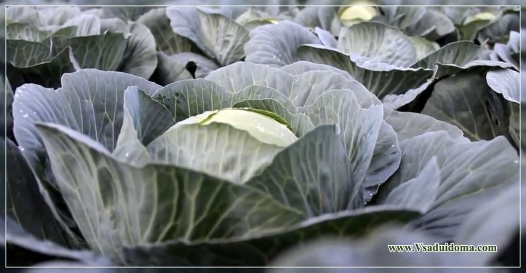 Сроки и схемы посадки цветной капусты в открытый грунт