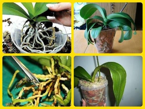 Блетилла посадка. блетилла (садовая орхидея), посадка, уход