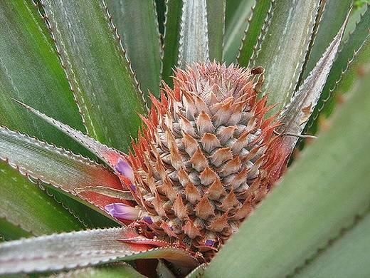 Лучшие сорта ананасов, полезные свойства и противопоказания