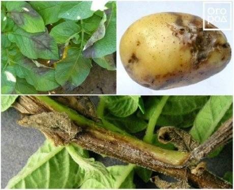 Какие заболевания клубней могут уничтожить весь урожай картофеля