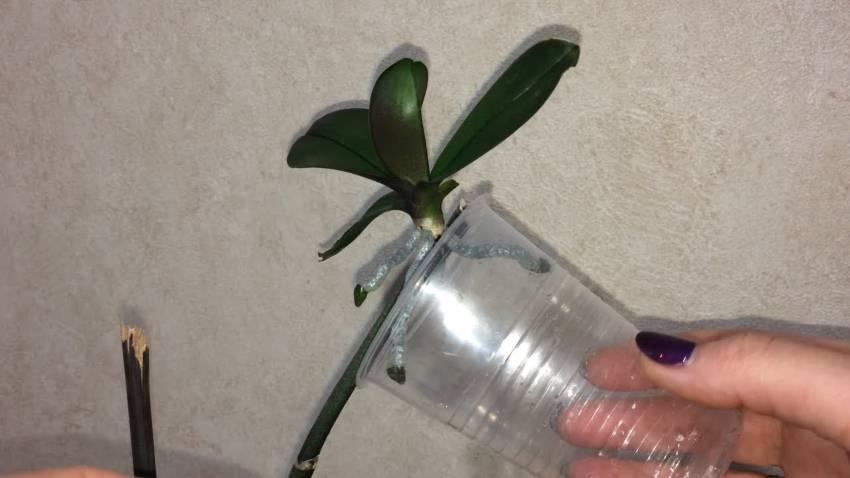 Как происходит выращивание орхидей без грунта: особенности ухода, достоинства и недостатки