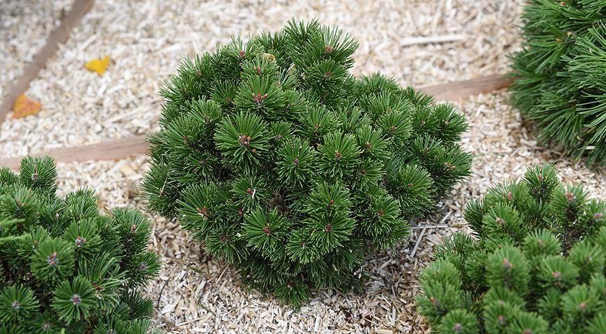 Горная сосна пумилио, особенности выращивания