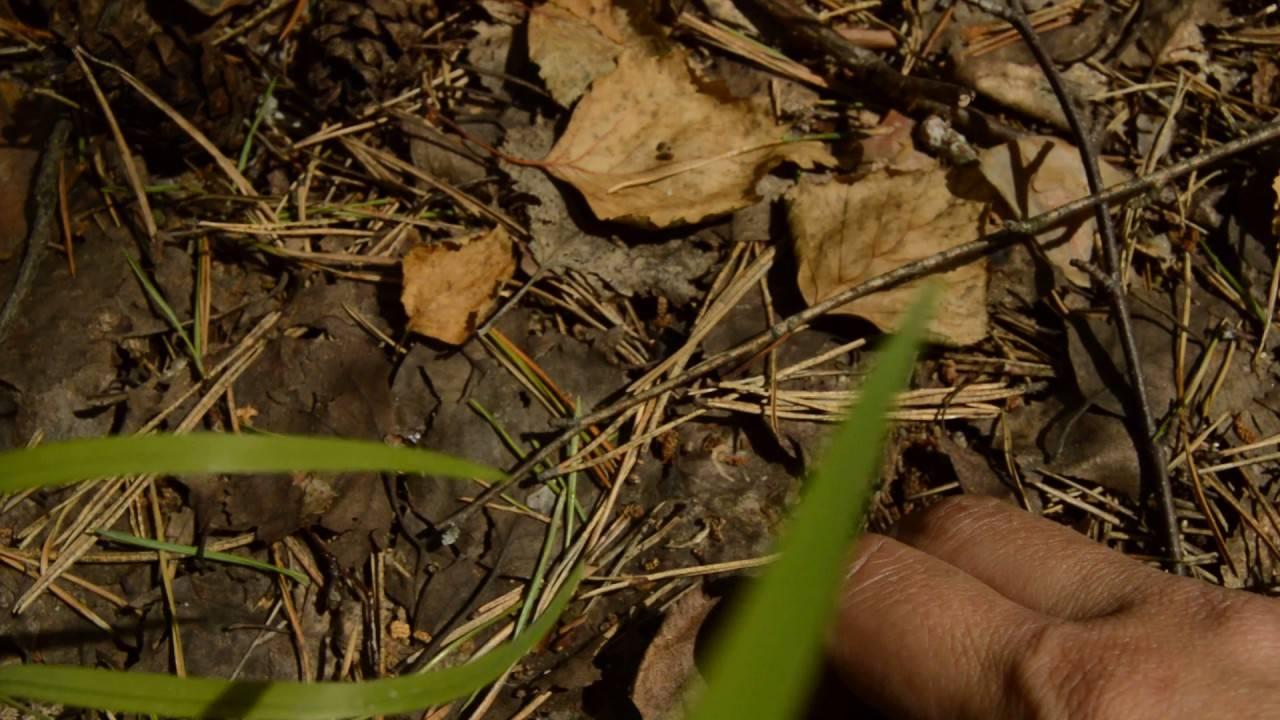 Размножение кампсиса черенками, семенами, порослью, видео