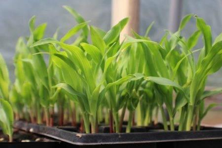 Благоприятные дни для посадки кукурузы в 2020 году