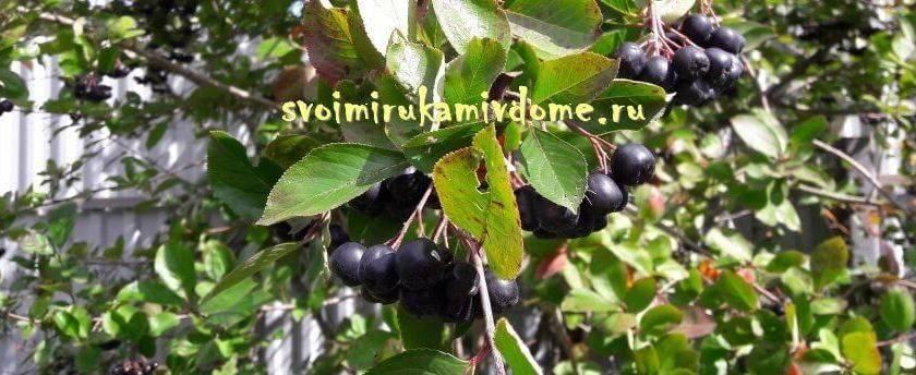 Плоды жимолости съедобной: полезные свойства и противопоказания