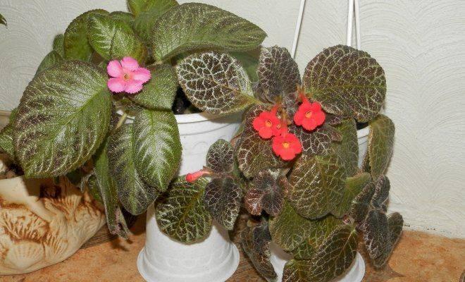 Как ухаживать заэписцией: выбираем «свое» растение-хамелеон