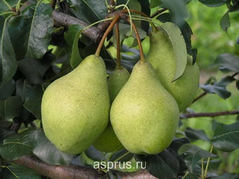 Один из лучших летних сортов — груша «лада»