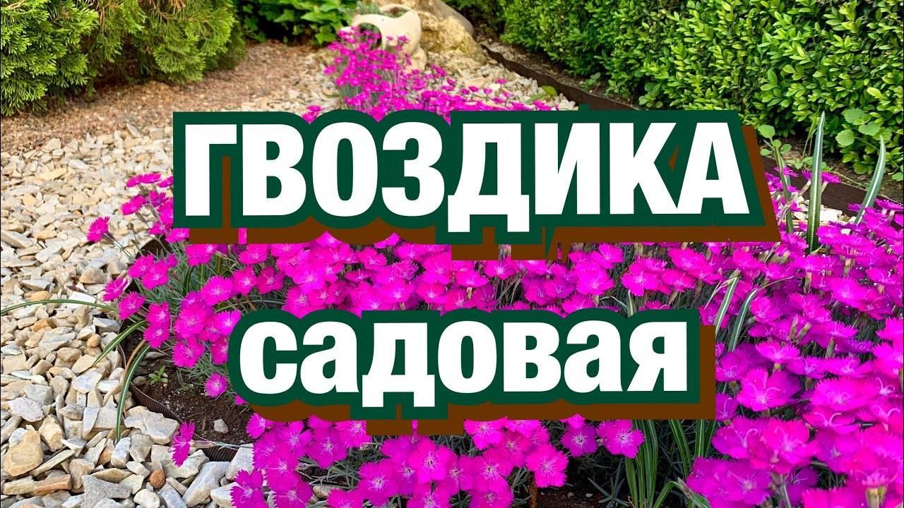 Гвоздика садовая: разновидности, посадка и уход