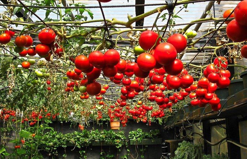 Томаты для ленинградской области: подходящие сорта и особенности выращивания
