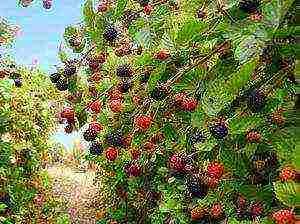 Посадка шелковицы на урале и в сибири – уход за культурой в открытом грунте