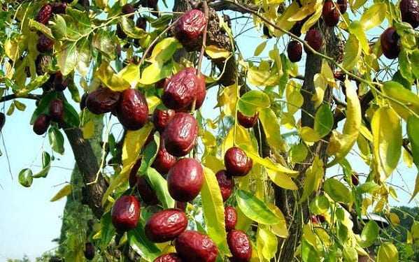 Зизифус мавританский: характеристика и особенности выращивания растения, видео