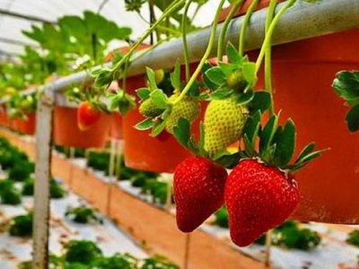 Ремонтантная клубника: посадка и уход, выращивание и болезни