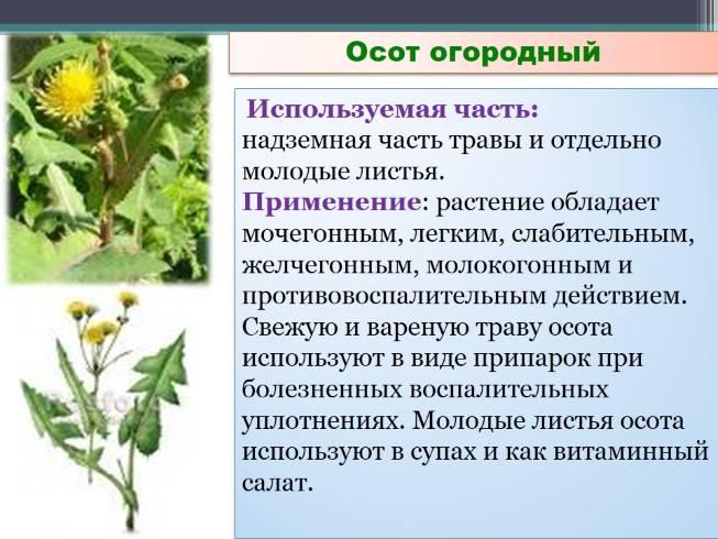 Польза осота как медоносного растения