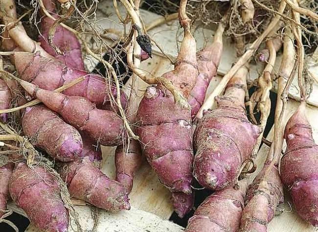 Семена топинамбура для выращивания овоща на приусадебных участках