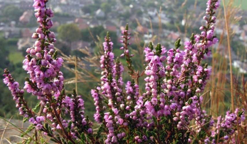 Растение обыкновенный вереск посадка и уход в открытом грунте на урале, фото видов и сортов в ландшафтном дизайне