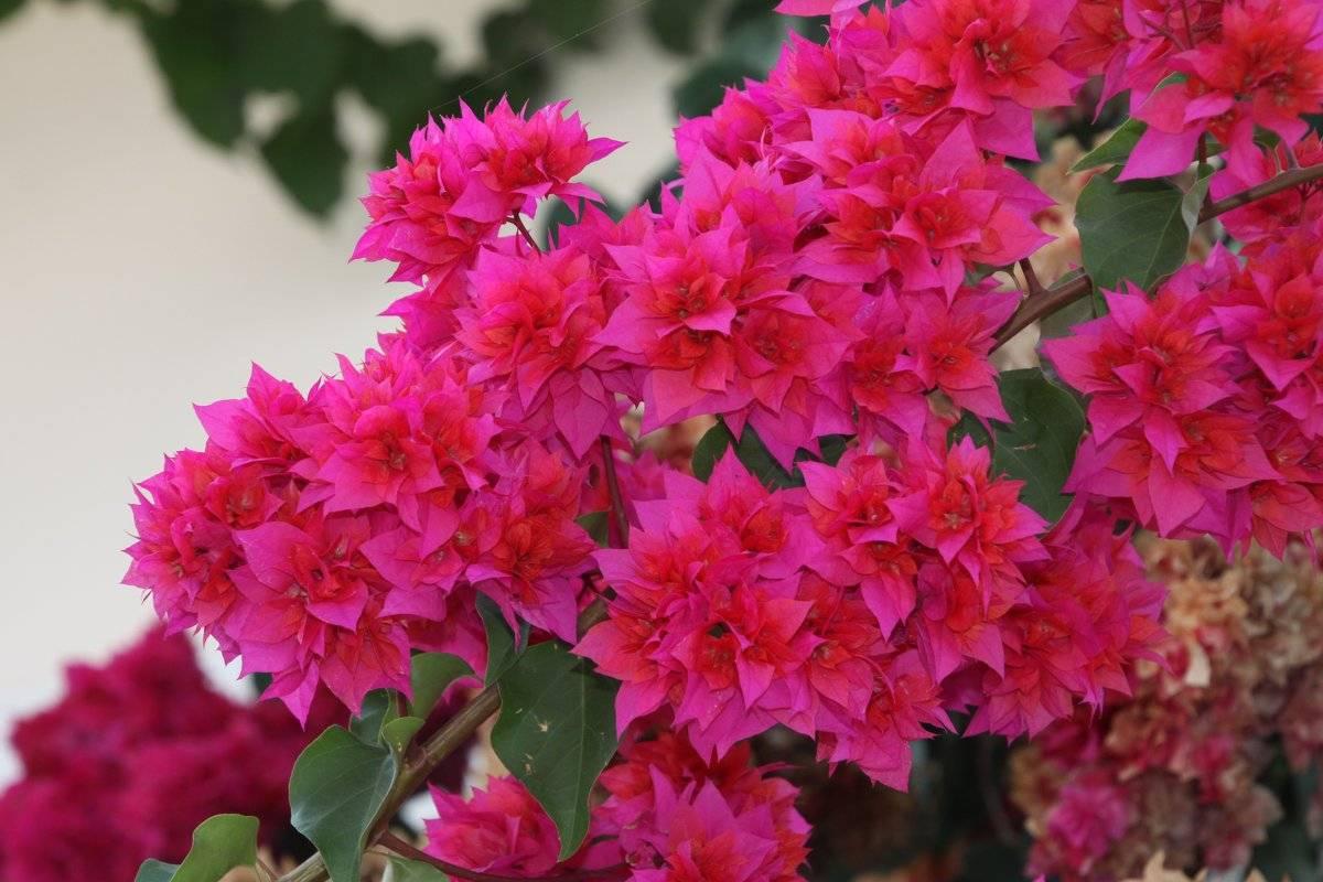 """Выращиваем """"бумажный цветок"""", или бугенвиллию в домашних условиях"""