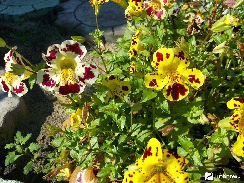 Мимулюс (губастик): выращивание из семян, посадка и уход