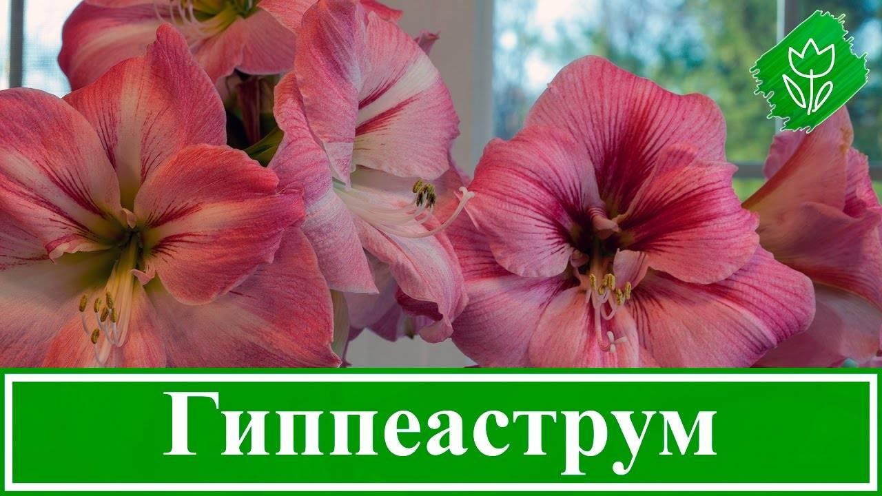 Гиппеаструм: выращивание, пересадка, размножение