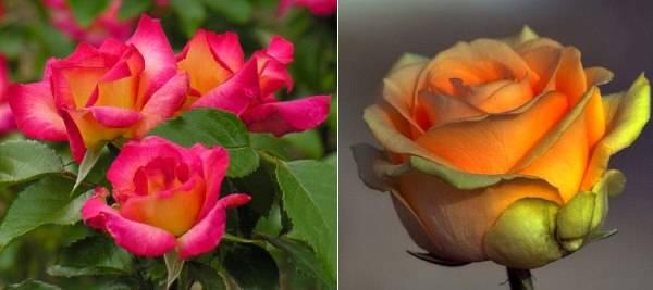 Чайно-гибридные розы и их выращивание