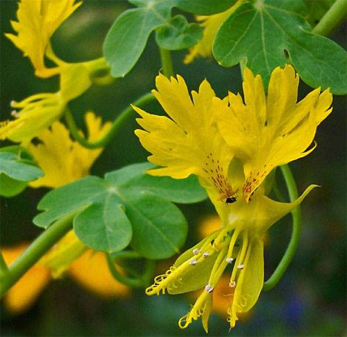 Рекомендации по выращиванию цветов настурции в открытом грунте