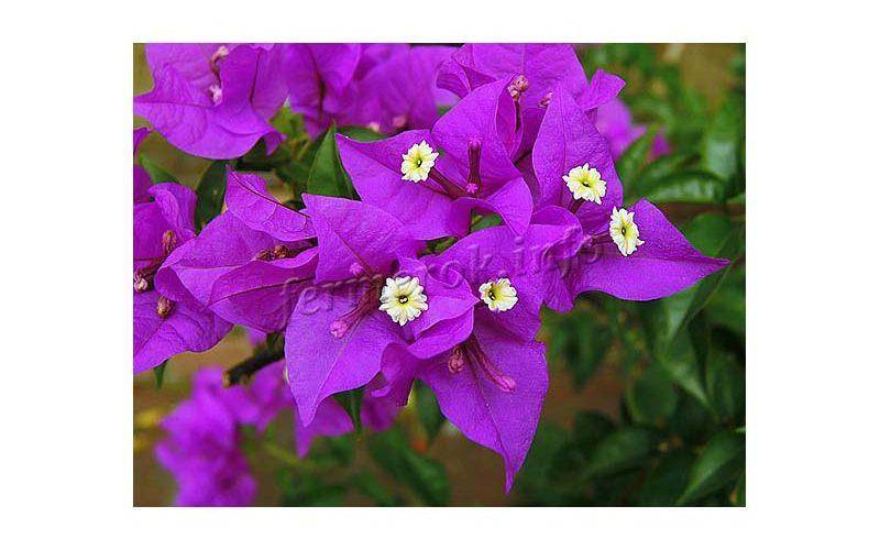 Бугенвиллия: как приручить строптивую красавицу