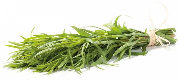 Трава тархун — эстрагон. полезные свойства и применение.