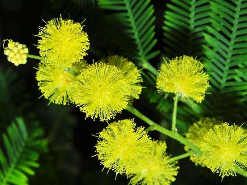 Выращивание мимозы стыдливой из семян