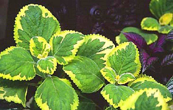 Плектрантус — зеленый плющ у вас дома