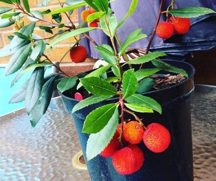 Выращивание земляничного дерева, посадка и уход
