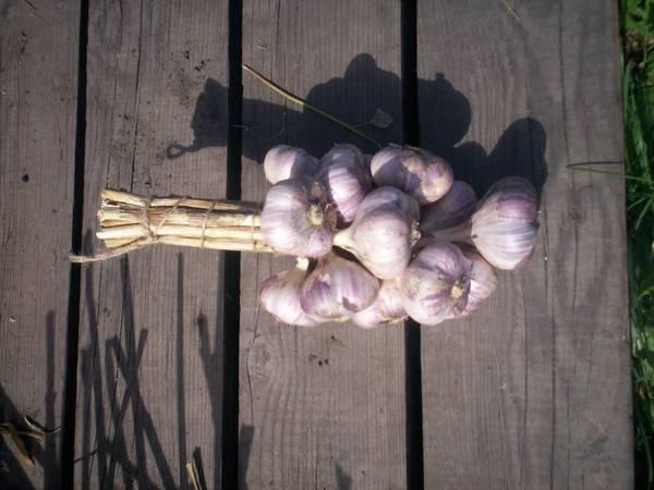 Посадка капусты кольраби, выращивание и уход