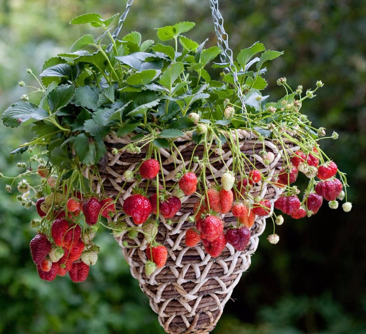 Как вырастить клубнику при помощи гидропоники в домашних условиях