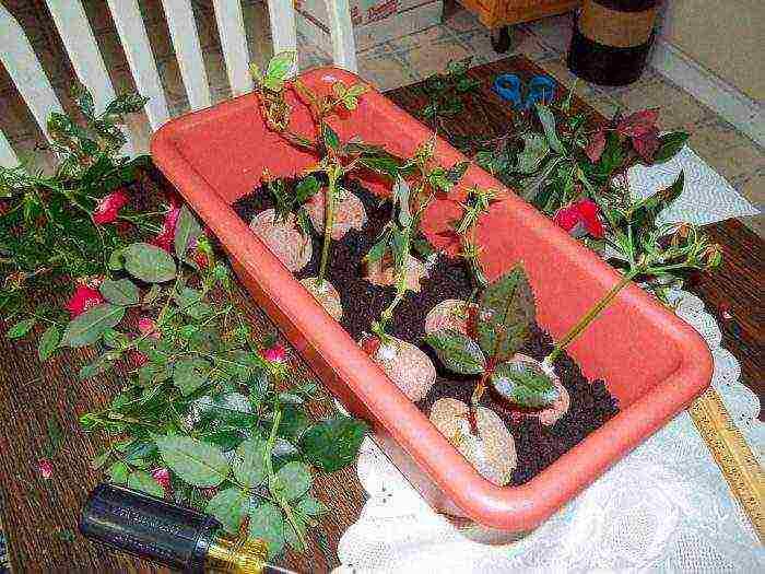 Как укоренить срезанную розу из букета в домашних условиях