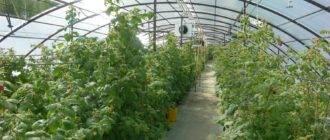 Как организовать бизнес по выращиванию малины на собственном участке