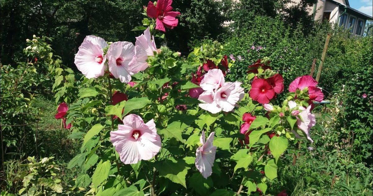 Гибискус садовый: уход, размножение, описание с фото, особенности выращивания