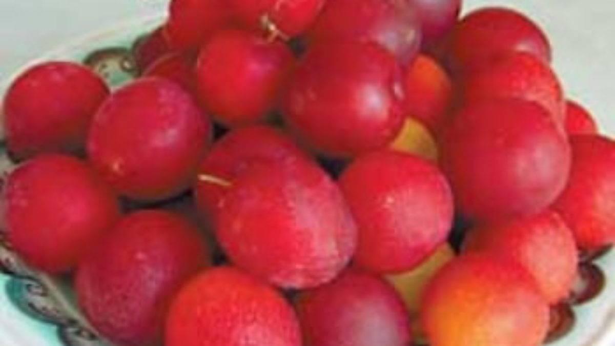 Алыча осенью – выбираем сорт и правильно сажаем деревце