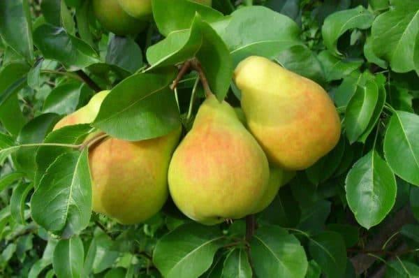 Груша память жегалова: сочные ароматные плоды на вашем столе