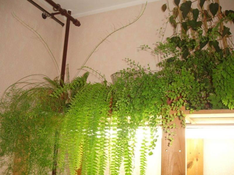 Выращивание и размножение нефропелиса в домашних условиях, виды с фото