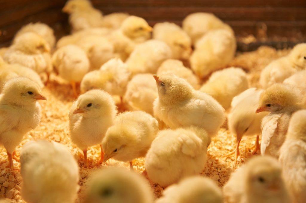 Виды и применение растворимых витаминов для цыплят бройлеров