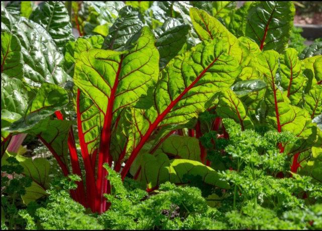 Мангольд: выращивание и уход в открытом грунте из семян и рассады, пошаговая инструкция