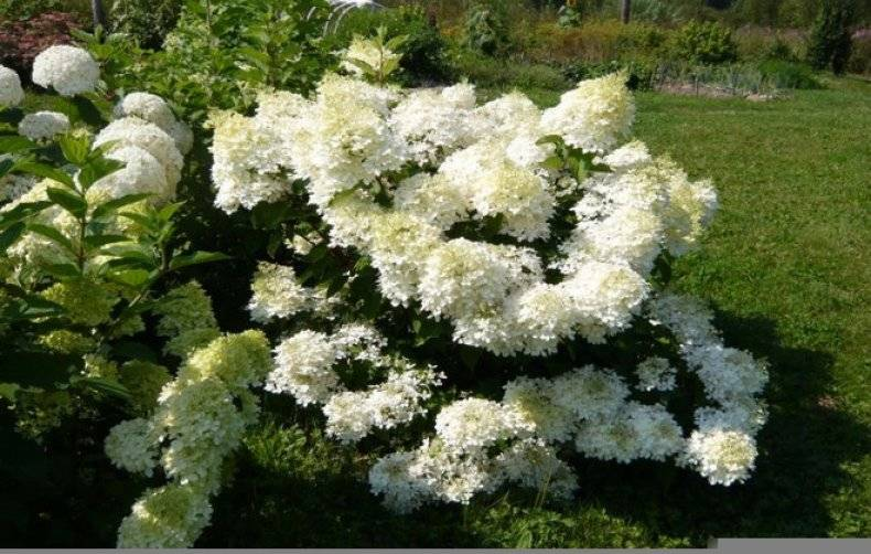 Популярные виды и сорта садовых гортензий
