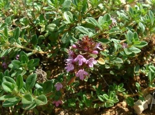Чем отличается чабер от чабреца и чем полезны эти растения?