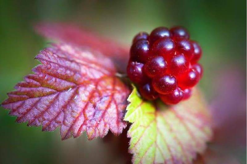В чем отличия костяники и княженики, характеристик ягодных культур