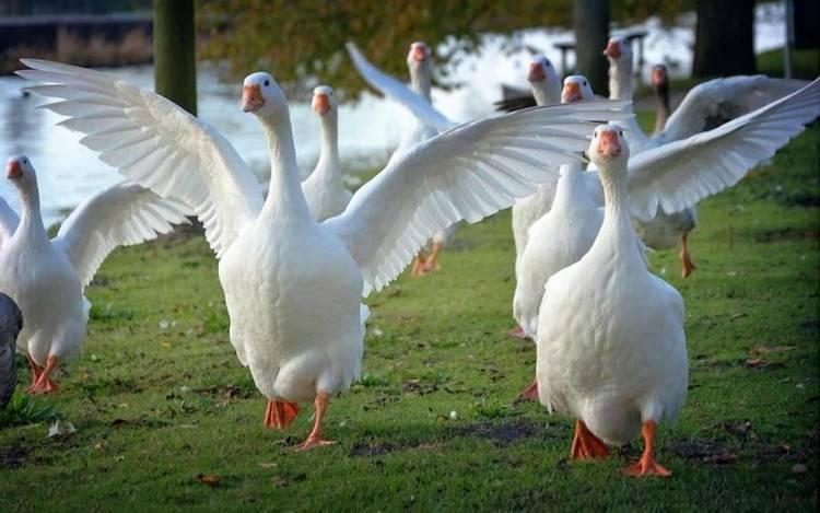Содержание и разведение домашних гусей