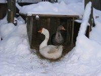 Кормление и содержание гусей зимой в домашних условиях