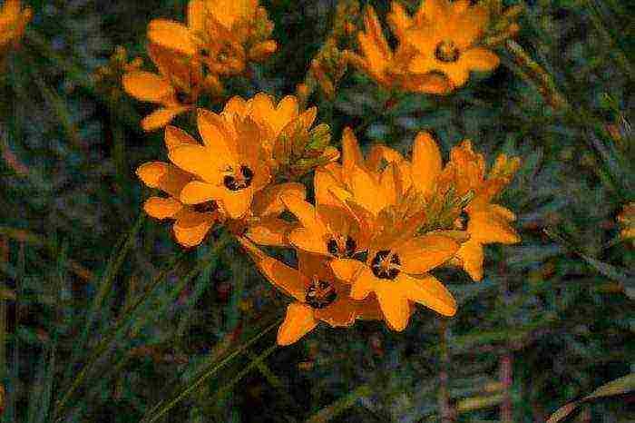 Особенности выращивания иксии в условиях открытого грунта