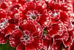 Гвоздика турецкая: посадка и уход в открытом грунте, фото, выращивание из семян