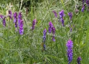 Растение широкого применения — масличная редька. как выращивается и для чего используется?