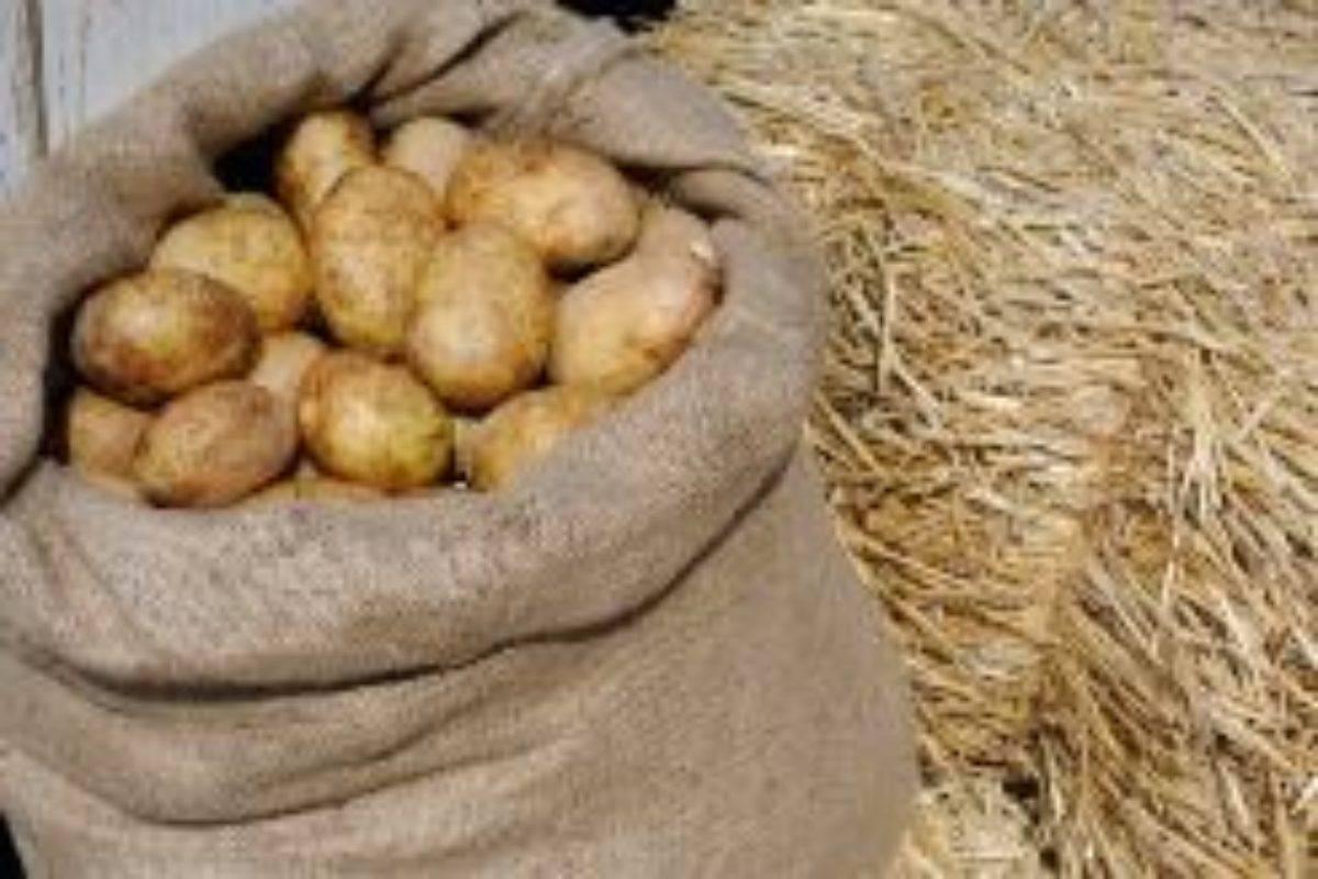 Как правильно посадить и вырастить картофель под соломой или сеном?